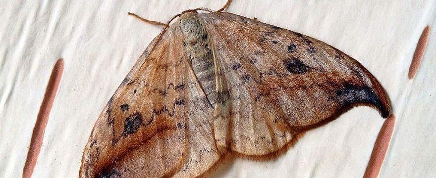 Ćmy: czy wielkie owady w mieszkaniach są niebezpieczne i jak z nimi walczyć