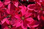 Jak pielęgnować gwiazdę betlejemską w domu, by kwitła jak najdłużej?